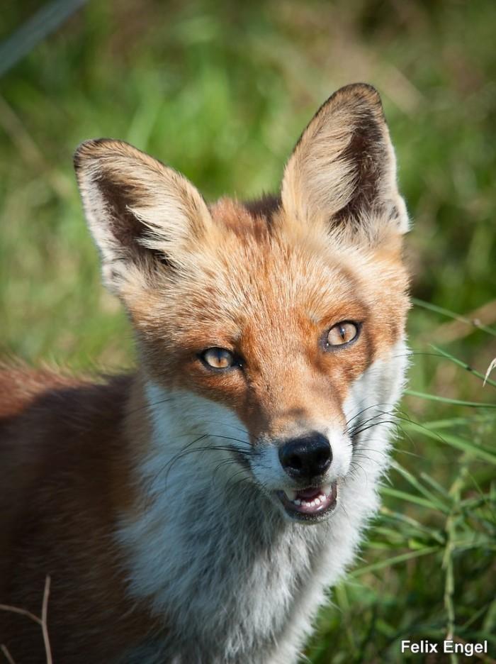Darß Fuchs